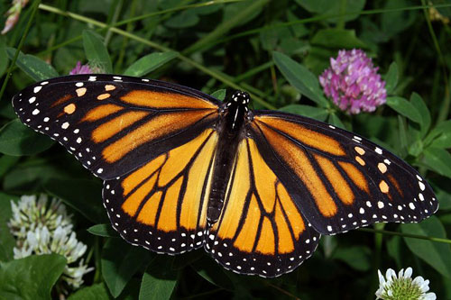 monarch-butterfly-female