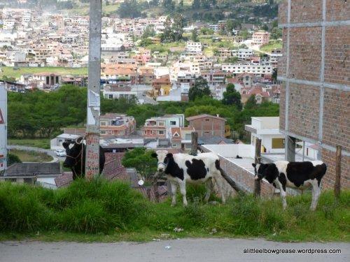 Julie's favourite...cows!